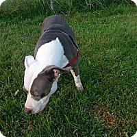 Adopt A Pet :: Lexi - Shelton, WA