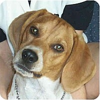 Adopt A Pet :: Copper - Portland, OR