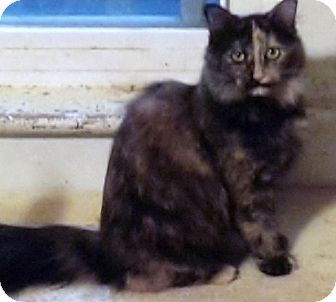 Domestic Longhair Cat for adoption in Morganton, North Carolina - Yoko