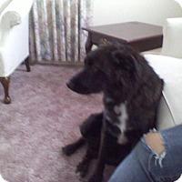 Adopt A Pet :: Bruno - Warsaw, IN
