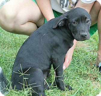 Pit Bull Terrier/Hound (Unknown Type) Mix Puppy for adoption in Marietta, Georgia - Darla