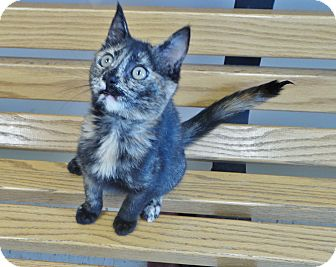 Domestic Shorthair Cat for adoption in Chambersburg, Pennsylvania - Pinto