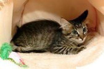 Domestic Mediumhair Kitten for adoption in Arlington, Texas - Louise