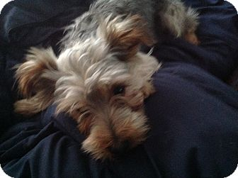 Yorkie, Yorkshire Terrier Dog for adoption in BONITA, California - Simon LaRue