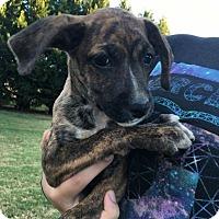 Adopt A Pet :: Amethyst - Albemarle, NC
