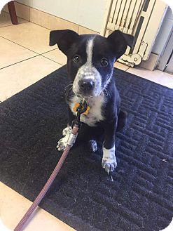 Cattle Dog/Border Collie Mix Puppy for adoption in La Verne, California - Dottie