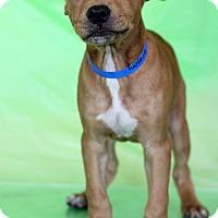 Adopt A Pet :: Gregory ADOPTION PENDING - Waldorf, MD