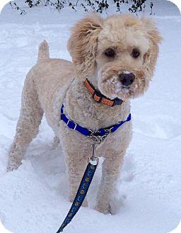 Cockapoo Mix Dog for adoption in Hamilton, Ontario - Todd