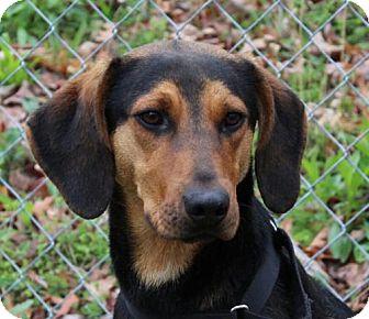 Hound (Unknown Type) Mix Dog for adoption in Allentown, Pennsylvania - Copper