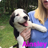 Adopt A Pet :: Ainsley - Shaw AFB, SC