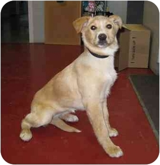 Collie Mix Puppy for adoption in Florence, Indiana - Violet