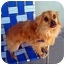 Photo 3 - Pomeranian/Chihuahua Mix Dog for adoption in Los Angeles, California - RIGGS