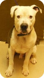 American Bulldog Dog for adoption in Gary, Indiana - Max