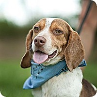 Adopt A Pet :: Bowser-local! - East Hartford, CT
