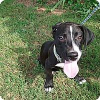 Adopt A Pet :: bentley - Murfreesboro, TN