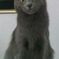 Domestic Longhair Cat for adoption in Livonia, Michigan - Sara