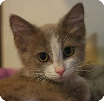 Domestic Longhair Kitten for adoption in Canoga Park, California - Sable