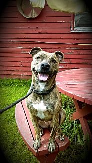 American Pit Bull Terrier Dog for adoption in Cherry Valley, New York - Alorha