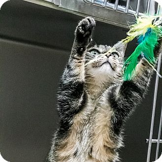Domestic Shorthair Cat for adoption in Wheaton, Illinois - Storm