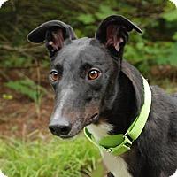 Adopt A Pet :: Sting - Ware, MA