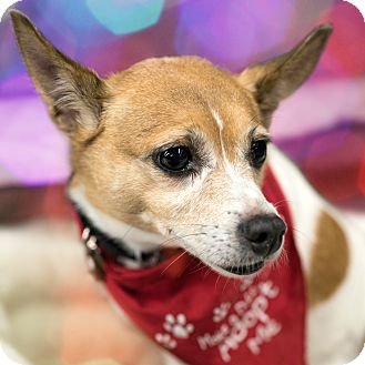 Chihuahua Mix Dog for adoption in South Plainfield, New Jersey - Franny