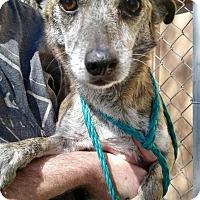 Adopt A Pet :: Lobo - Las Vegas, NV