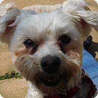 Adopt A Pet :: ChiChi - House Springs, MO