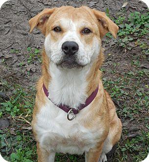 Labrador Retriever/Shar Pei Mix Dog for adoption in Ormond Beach, Florida - Sandy