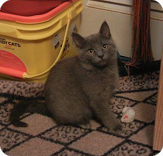 Domestic Shorthair Kitten for adoption in Southington, Connecticut - Gemini