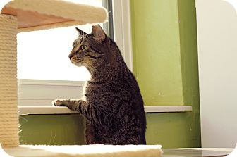 Domestic Shorthair Cat for adoption in Chicago, Illinois - Bitsy