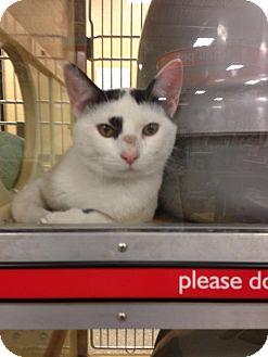 Domestic Shorthair Cat for adoption in Monroe, Georgia - Whispurr