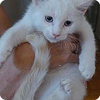 Adopt A Pet :: Bella - Lighthouse Point, FL
