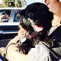 Adopt A Pet :: Batwoman - Shawnee Mission, KS