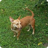 Adopt A Pet :: Shortstack - Ormond Beach, FL
