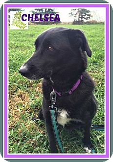 Border Collie/Labrador Retriever Mix Dog for adoption in New Richmond,, Wisconsin - Chelsea
