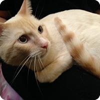 Adopt A Pet :: Ivory-Adoption Pending! - Arlington, VA