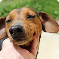 Adopt A Pet :: Roman - Brattleboro, VT