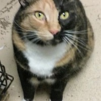 Domestic Shorthair Cat for adoption in Pottsville, Pennsylvania - Cookie