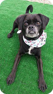 Pug/Beagle Mix Dog for adoption in Speedway, Indiana - MJ