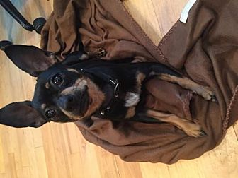 Chihuahua Mix Dog for adoption in Gilberts, Illinois - Ralphael