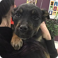 German Shepherd Dog Mix Dog for adoption in Maple Grove, Minnesota - Blue