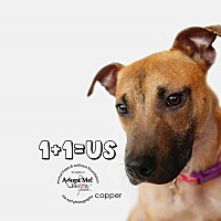 Adopt A Pet :: Copper aka Gray - Sherman Oaks, CA