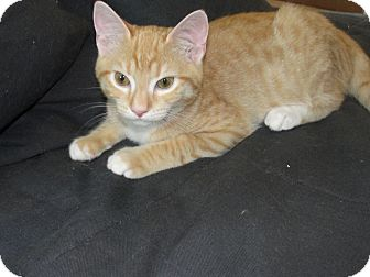 Domestic Shorthair Kitten for adoption in Jenkintown, Pennsylvania - Fred