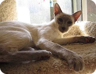 Siamese Cat for adoption in Davis, California - Lila
