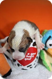 Corgi/Beagle Mix Puppy for adoption in Stilwell, Oklahoma - Caitlyn