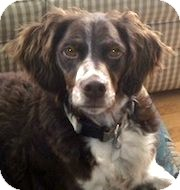 English Springer Spaniel Dog for adoption in Minneapolis, Minnesota - Dakota