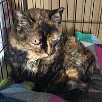 Domestic Shorthair Cat for adoption in Mt Pleasant, Pennsylvania - Carrie