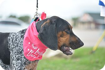 Coonhound/Bluetick Coonhound Mix Dog for adoption in White Settlement, Texas - Colt