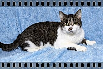 Domestic Shorthair Cat for adoption in Mt. Prospect, Illinois - Tommy