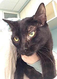 Domestic Shorthair Kitten for adoption in Westminster, California - Olive